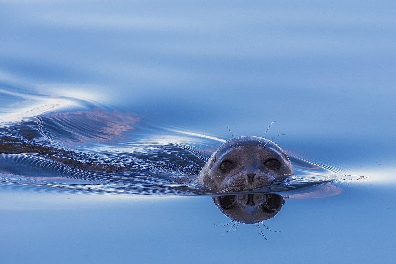 כלב ים טבעתי, ים לפטב