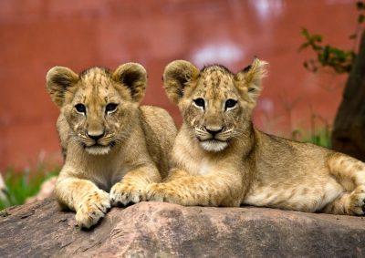 גורים, אריות
