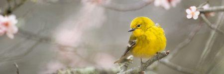 ציפור שיר, ציפור צהובה