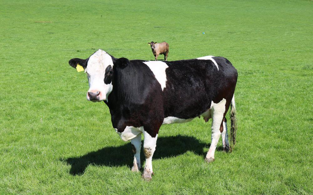 אשלייה, פרות, מצלמה