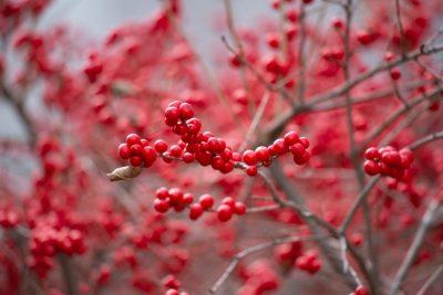פרי אדום, ענף