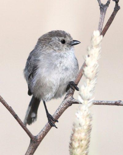 ציפור, Bushtit, קליפורניה