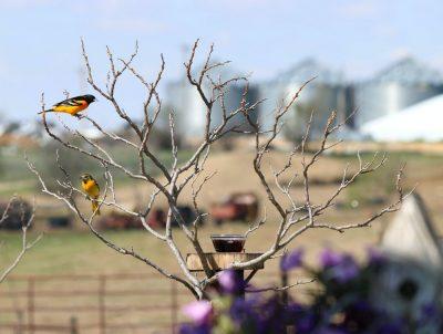 זהבונים, ציפורים