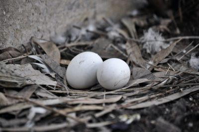 ביצים, קן