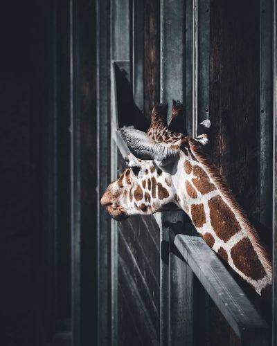 ג'ירפה, כלוב, גן חיות