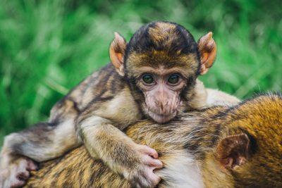 קוף צעיר, אמא