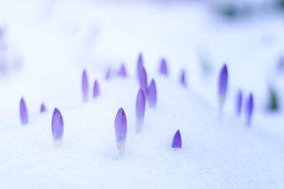 עלי כותרת, פרחים, שלג, אביב, טבע