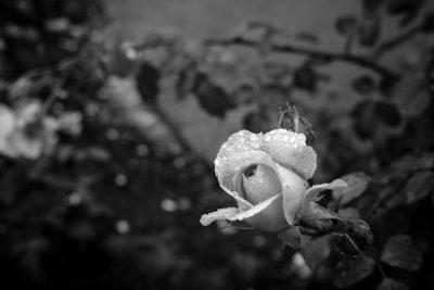 ורד, טל, בלפסט, צפון אירלנד