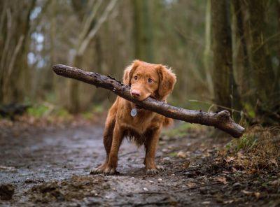 כלב, בול עץ, מקל