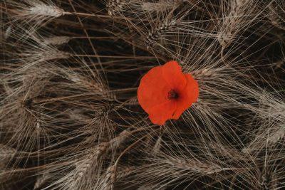 פרח אדום, חיטה