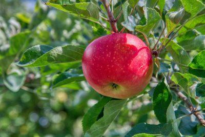 תפוח, ניוטון