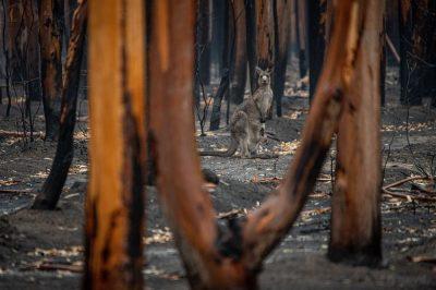 קנגורו, אוסטרליה, שריפה, יער