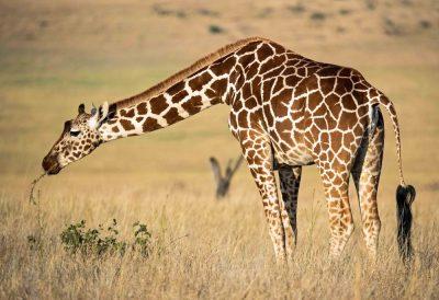 ג'ירפה, קניה, שמורת טבע