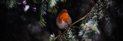 אדום חזה, אורן, שלג, שקט