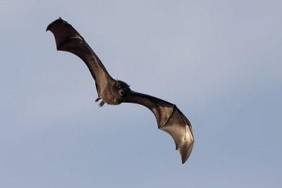 שועל מעופף, עטלף