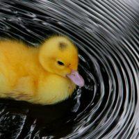 ברווזון, ברווז, טבעות מים