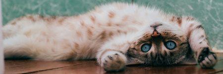 חתול, בית