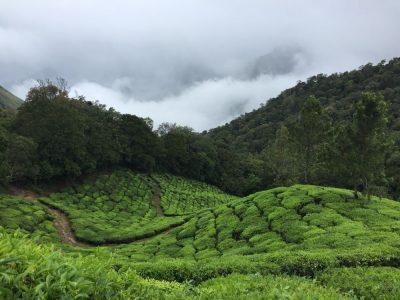 תה, הודו, מטעים