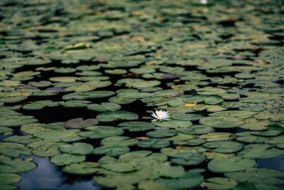 פרחי מים, שלולית, אגמון