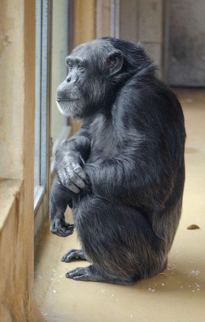 קוף, פרימאט, שימפנזה
