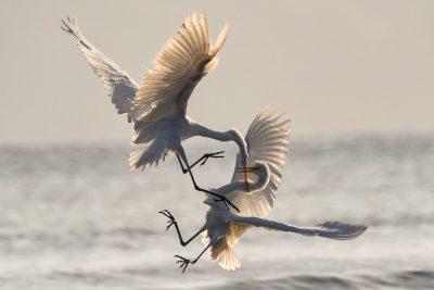 אנפות, ציפורים, שליטה, מאבק, דיג