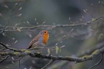 אדום חזה, ציפור, ענף