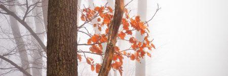 עצים, עלים, ערפל, יער, שלכת