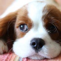 כלב, שמיכה